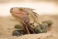 Iguana<br /> Virgin Islands