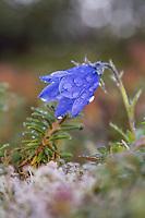 Wildflower blossom, Denali National Park, Alaska