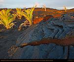 Pahoehoe Lava from Kilauea Eruption and newly planted Palm Trees at Sunrise, Kaimu Beach at Kalapana, Black Sand Beach, Kaimu Bay, Puna District, Big Island of Hawaii