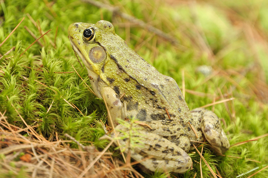 Easing your way through a quiet wetland, the Green Frog might just scare your pants off if it gives it's characteristic 'eeeekk' as it leaps for the safety of the water.
