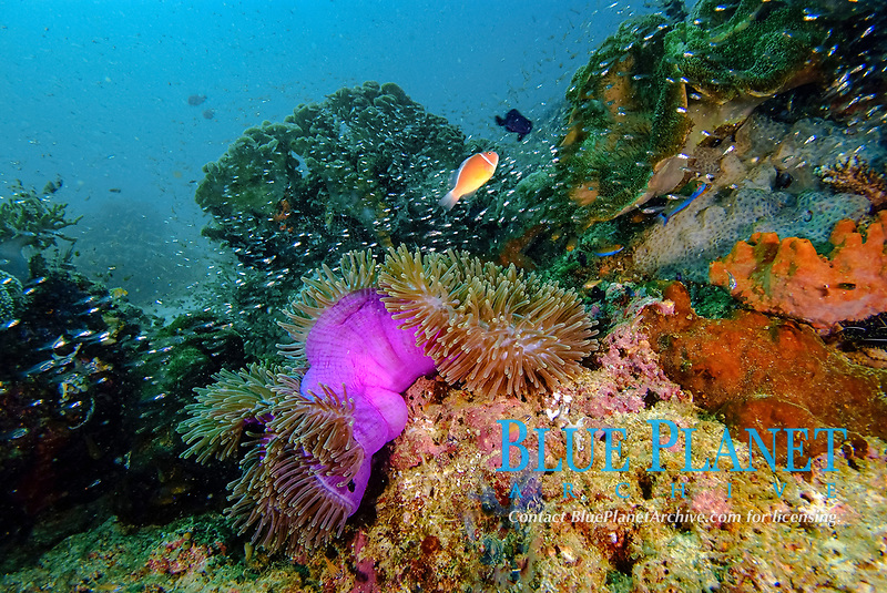 Large pink sea anemone with anemone fish, Amphiprion perideraion, on a reef in Raja Ampat, West Papua, Indonesia