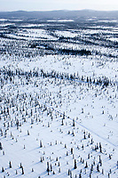 Aerial of Hugh Neff crossing through frozen spruce and swamp on the way to the Cripple checkpoint during the 2010 Iditarod