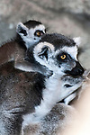ring-tailed lemur with one month old baby on mothers back, vertical