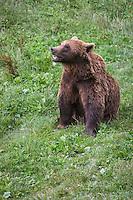 Europe, France, Aquitaine, Pyrénées-Atlantiques, Béarn, Borce:  Ours brun , Parc Ours, Parc animalier de Borce // Europe, France, Aquitaine, Pyrenees Atlantiques, Bearn, Borce:  Brown bear,  Parc Ours,