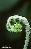 FE04-007a  Fern - opening,  sporophyte