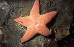 Winged or Sponge Eating Sea Star