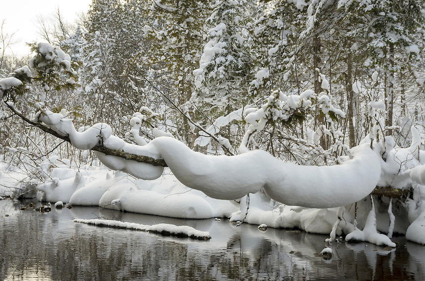 "After a heavy snowfall, this snow is clinging desperately to a branch overhanging the AuTrain River. The unusual shape resembles a giant snake or a ""snow snake."""