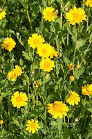 Saat-Wucherblume, Saatwucherblume, Saat- Wucherblume, Glebionis segetum, Chrysanthemum segetum, Corn Marigold