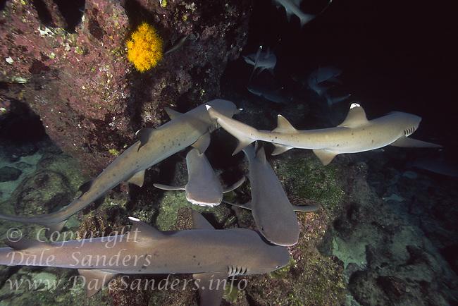 White Tip Reef Sharks ( Triaenodon obesus ) hunting at night, underwater off Cocos Island, Costa Rica.