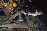 White Tip Reef Sharks ( Triaenodon obesus ) hunting at night, underwater off Cocos Island, Costa Rica.