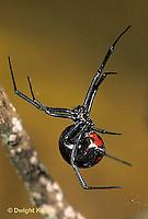 SI24-002d  Black Widow Spider - Latrudectus mactans