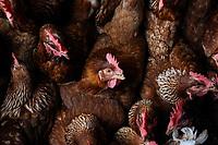 ARMENIA - COLOMBIA, 24-05-2021: Animales como las gallinas, necesitan constantemente estar alimentadas para que la producción de sea efectiva, un galpón de 170 gallinas consumen en promedio 17 kilos diarios de alimento. A más de un mes del inicio del Paro Nacional, los campesinos han tenido que reinventar la forma para mantener sus cultivos y criaderos activos para minimizar las pérdidas por los bloqueos que aún se mantienen en las vías. Según cifras del Ministerio de Hacienda, las pérdidas diarias están en un monto de $480.000 millones de pesos colombianos, lo cual sumando la totalidad de los días del Paro Nacional, suman un total de $10,8 billones de pesos colombianos. / Animals such as chickens need to be constantly fed in order to produce effectively; a hen house with 170 hens consumes an average of 17 kilos of feed per day. More than a month after the beginning of the National Strike, farmers have had to reinvent the way to keep their crops and farms active to minimize losses due to the road blockades that are still in place. According to figures from the Ministry of Finance, daily losses are in the amount of $480,000 million Colombian pesos, which adding the total number of days of the National Strike, add up to a total of $10.8 billion Colombian pesos. Photo: VizzorImage / Santiago Castro / Cont