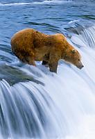 Grizzly bear, Ursus arctos middendorffi, waiting for salmon at Brooks Falls, Katmai National Park, Alaska, USA