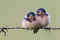 Barn Swallow (Hirundo rustica erythrogaster), American subspecies, a pair of juveniles huddled together on a barbed wire fence waiting for food from their parents.