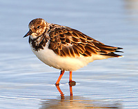 Ruddy turnstone in winter plumage