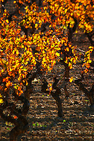 La Clape. Languedoc. Vines trained in Gobelet pruning. Vine leaves. Vineyard. France. Europe.