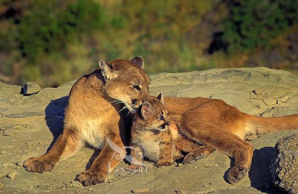 COUGAR Mom & cub ( Felis concolor). Rocky Mountains.