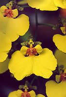 Oncidium varicosum var. rogersii, Dancing Lady Orchid, Ballerina orchid