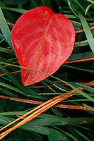 Close up abstract of an autumn Flowering dogwood leaf in grass.