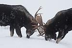 Two bull moose spar in Grand Teton National Park, Wyoming.
