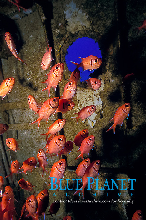 blackbar soldierfish, Myripristis jacobus, inside tugboat wreck Northwind, sunk to film movie and left as artificial reef St. Croix or Saint Croix, US Virgin Islands, Caribbean Sea, Atlantic Ocean