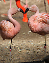Flamingos perform courtship dances at a zoo ahead of Valentine's Day