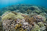 Hard coral garden that has grown in the last twenty years after being destroyed by a volcano, in Banda Neira, with a variety of table, leather, and staghorn corals, Acropora sp., Porites sp., Litophyton sp., sarcophyton sp., Banda Neira, Banda Sea, Moluccus region, eastern Indonesia, Pacific Ocean