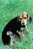 Kitten resting chin on beagle's knee