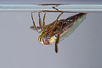 Gemeiner Rückenschwimmer, Notonecta glauca, common backswimmer, notonectid