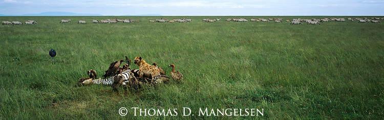Vultures and a spotted hyena feed on a zebra carcass in Serengeti National Park, Tanzania.