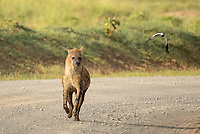 Spotted Hyena, Crocuta crocuta, walks on a dirt road in Lake Nakuru National Park, Kenya, while a lapwing, Vanellus sp., flies past.