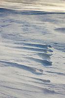 Arctic fox tracks along a wind blown snow drift ridge along the Beaufort sea on Barter Island, Arctic, Alaska.