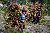 Mountain people collecting ferns near between Nubding and Dungdung Ngesa, road from Punakha to Pele La Pass, Bhutan