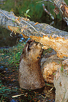American Beaver (Castor canadensis) eating bark off cottonwoood tree it has fallen.