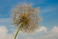 Dandelions seeds against blue sky with white clouds