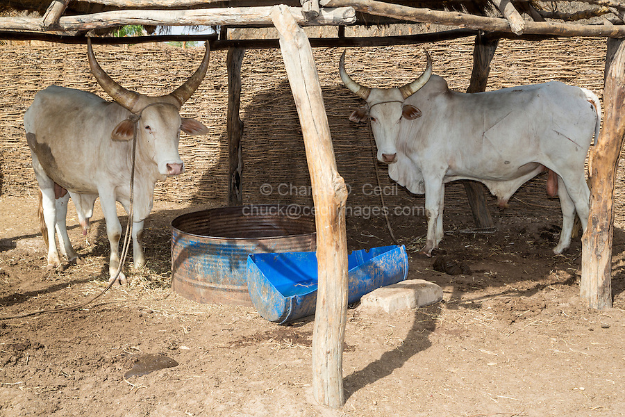 Farmer's Cattle at Bijam, a Wolof Village, near Kaolack, Senegal. DOZENS MORE OF IMAGES RELATED TO MILLET CULTIVATION ARE AVAILABLE.  WHAT DO YOU NEED?