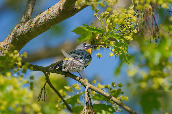 """Yellow-rumped warbler (Dendroica coronata) in maple tree.  Pacific Northwest.  Spring. (Sometimes referred to as """"Audubon's Warbler"""")."""