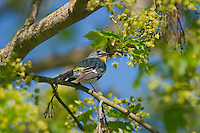 "Yellow-rumped warbler (Dendroica coronata) in maple tree.  Pacific Northwest.  Spring. (Sometimes referred to as ""Audubon's Warbler"")."