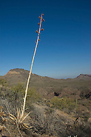 Desert agave, Agave deserti, Organ Pipe Cactus National Monument, Arizona.