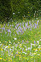 Common spotted orchids (Dactylorhiza fuchsii) in the Topiary Lawn, Great Dixter, early June. Other species include Ox-eye Daisy (Leucanthemum vulgare), Meadow buttercup (Ranunculus acris).