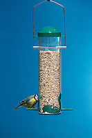 Blaumeise, an der Vogelfütterung, Fütterung am mit Körnern gefüllten Futtersilo, Körnerfutter, Blau-Meise, Meise, Cyanistes caeruleus, Parus caeruleus, Blue tit. Ganzjahresfütterung, Vögel füttern im ganzen Jahr