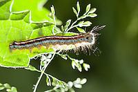 Ringelspinner, Raupe frisst an Brennnessel, Ringel-Spinner, Malacosoma neustria, Malacosoma neustrium, Phalaena neustria, Lackey moth, Lackey, caterpillar, Glucken, Lasiocampidae