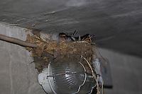 Rauchschwalbe, Rauch-Schwalbe, Schwalbe, Schwalben, brütend im Lehmnest, Nest an Lampe in einem Stall, Hirundo rustica, Swallow, barn swallow, Hirondelle rustique