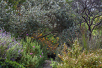 Silver gray foliage of Pineapple guava in Blake Garden