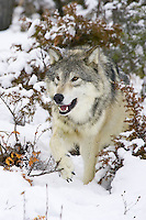 Grey Walk walking through the snowy underbrush - CA
