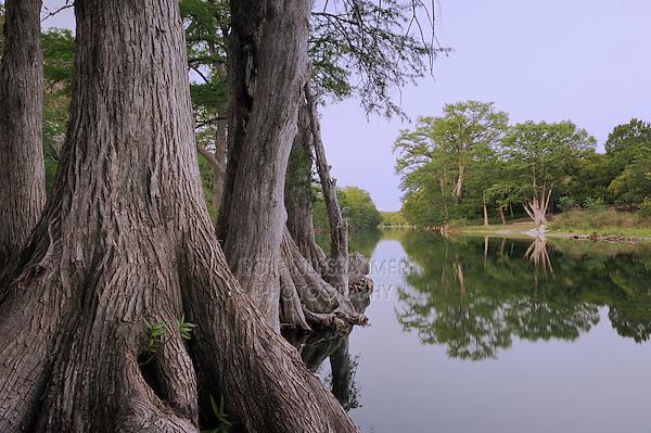 Bald Cypress (Taxodium distichum), Blanco River, Wimberley, Hays County, Central Texas, USA