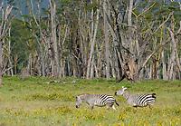 Grant's Zebras, Equus quagga boehmi, in Lake Nakuru National Park, Kenya