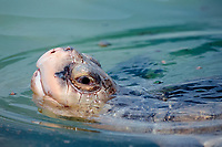 Kemp's ridley sea turtle, Lepidochelys kempii (c), critically endangered species, raises head from water to breathe