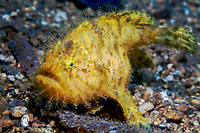 Hairy frogfish (Antennarius striatus), under a pier off of Lombok, Bali Sea, Indonesia