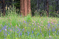 Wildflowers and Ponderosa tree. Freemont National Forest. Oregon